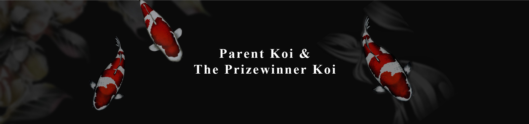 Parent Koi &The Prizewinner Koi