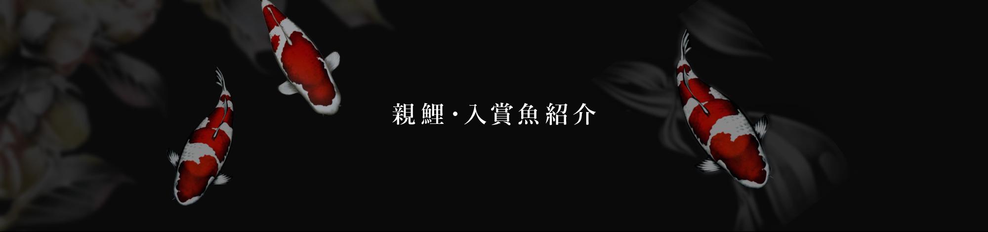 親鯉・入賞魚紹介